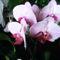 Lepke Orchidea ujra nyillik