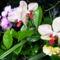 Lepke Orchideák