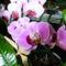 Lepke Orchideák várág ponpába