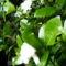 lGardénia bokor virágzik