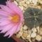Echinocereus Knippelianus