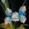 Kék virág közelről