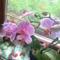 Rózsaszín csíkos phalám 2010 június