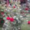 piros rózsabokor