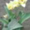 ...virít a tulipánt....