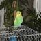 Hullámos papagáj - hím 1