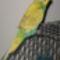 Hullámos papagáj - hím 2