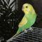Hullámos papagáj - hím 3