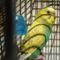 Hullámos papagáj - hím 7