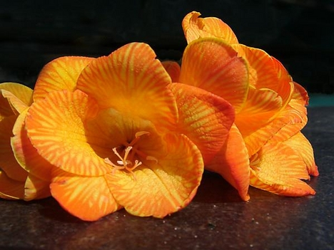 Amarilis virágok