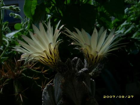Astrophytum ornatum