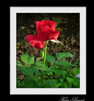 Egy szál rózsa