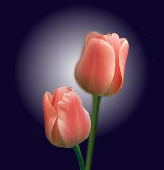 havas tulipánok