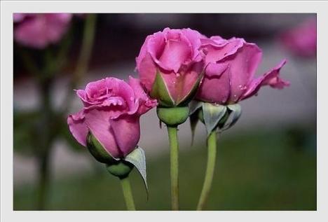 Rózsa szálak