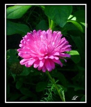 Rózsaszín őszirózsa