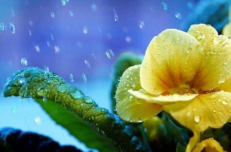 Tavaszi esőben fürdő Primula