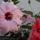 hibiskus közelről