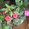 Mesevirág