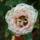 Mini_rozsa-001_880312_23207_t