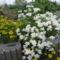 Tatár virág