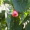 selyem májva virága
