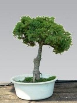bonsai cukorsüvegfenyő