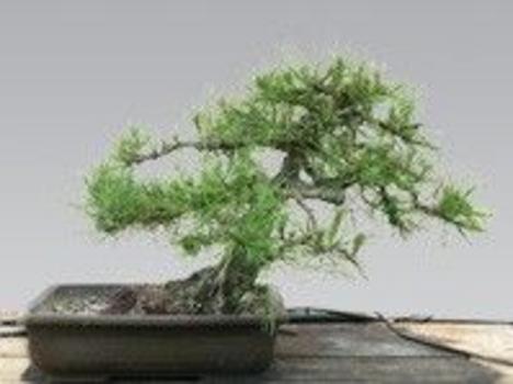 bonsai feketefenyő