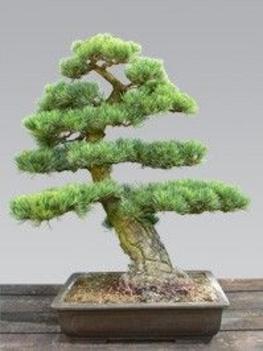 japan selyemfenyő