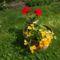 muskátli és nemesia (vörösbegyvirág)