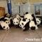 Panda ovóda