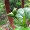 Dupla bimbó a tömött virágú piros Hibiszkusz Fácskáról