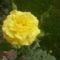 Egy szál rózsa ...