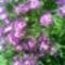 lila virág a elso kerbe