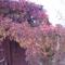 fatárolón a vadszőlő az őszt mutatja