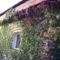 garázs falán a tapadó szőlő
