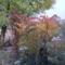 színesedik az ecetfa