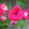 Rózsa muskátli