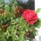 Szobarózsa nyárvégi virága, még kint a párkányon.