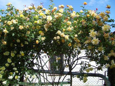 Sárga futó Rózsa