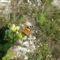 Tarka pillangó 21 002