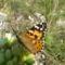 Tarka pillangó 21 004