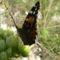 Tarka pillangó 21 005