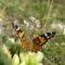 Tarka pillangó 21 007