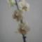 lepkeorchidea 7