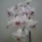 lepkeorchidea 10