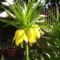 sárga,császárkorona