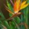 strelícia,  papagájvirág