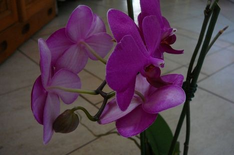 orchidea ... lila orchidea