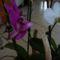 orchidea mix