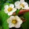 szamóca virágok